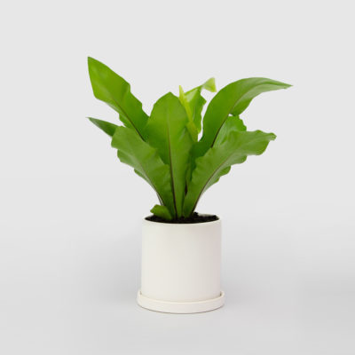 Birds Nest Fern White Ceramic Pot Set 150mm