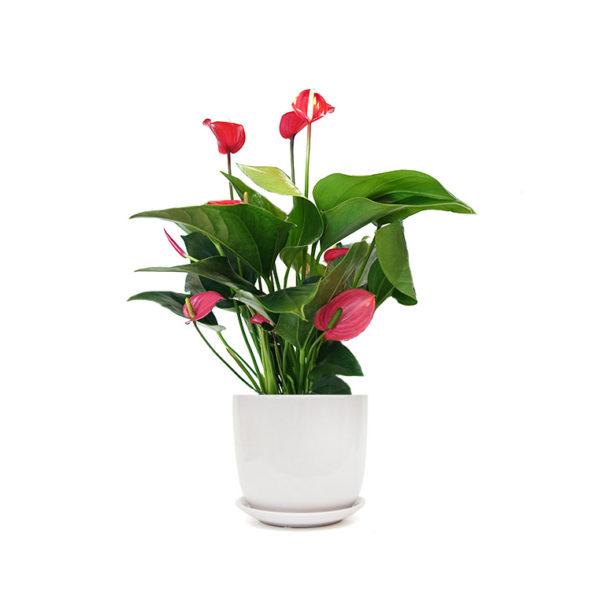 Anthurium Red Flamingo Flower Ceramic Gift Plant Sydney