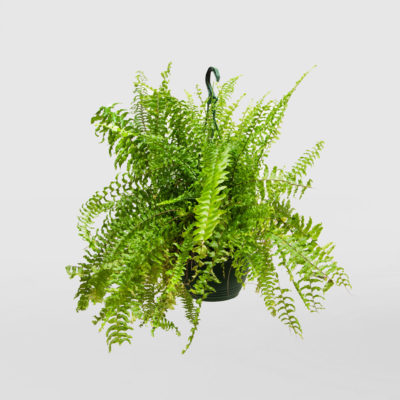 Nephrolepis Exaltata Boston Fern Hanging 200mm