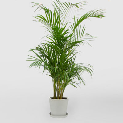 Golden Cane Palm Ecopot Whitestone 300mm
