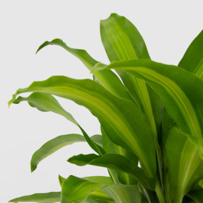 Happy Plant DRACAENA FRAGRANS MASSANGEANA