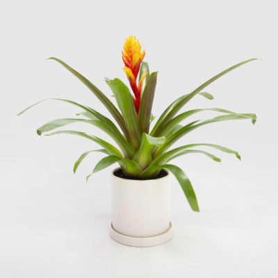Bromeliad Vriesea White Ceramic Pot 150mm