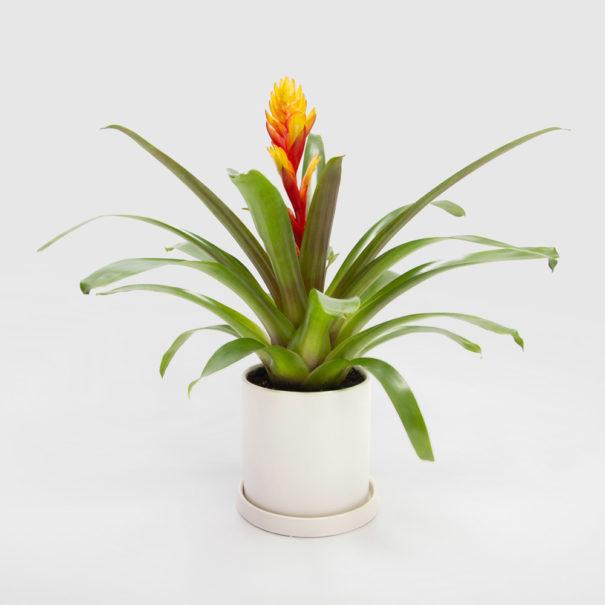 Bromeliad Vriesea White Ceramic Pot 150mm