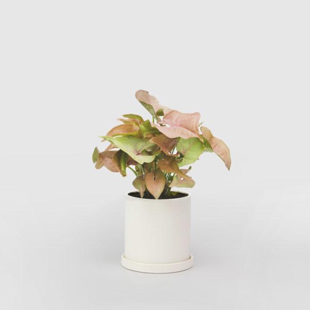 Pink Syngonium White Ceramic Pot Set 100mm