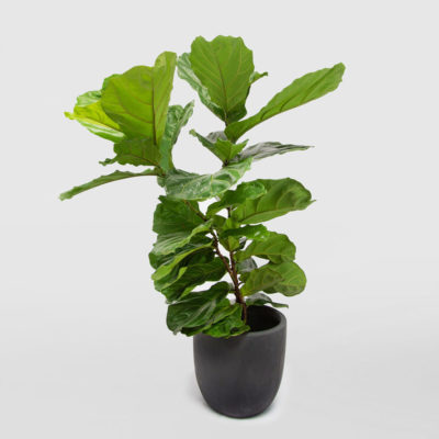 Fiddle Leaf Ficus Lyrata Egg Planter Granite 400mm