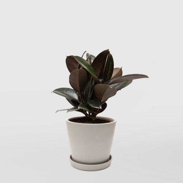 Rubber Plant Ficus Elastica Ecopot Whitestone 200mm