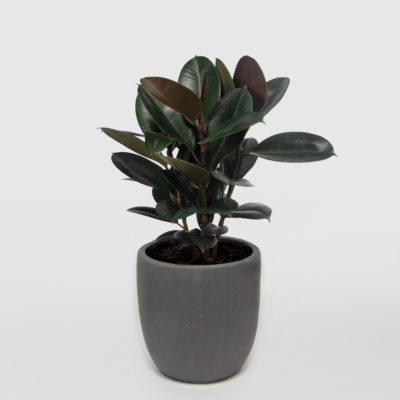 Rubber Plant Ficus Elastica Egg Planter Granite 350mm