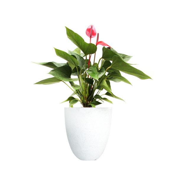 Anthurium Pink Terrazzo White