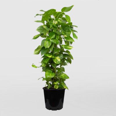 Epipremnum Aureum Devils Ivy Golden Pothos Totem Pole 300mm 30cm