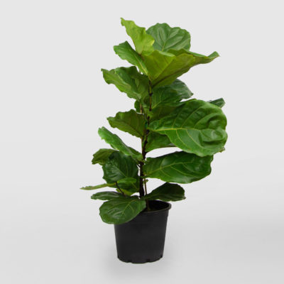 Ficus Lyrata Fiddle Leaf Fig 300mm