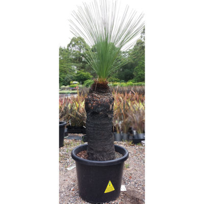 Grass Tree Black Boy 55cm