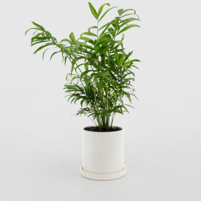 Parlour Palm White Ceramic Pot Set 150mm