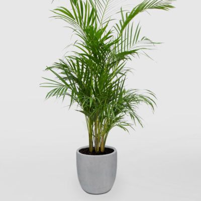 Golden Cane Palm Egg Planter Light Grey