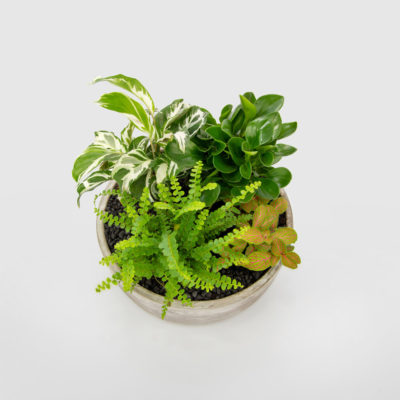 Midnight Garden Indoor Plant Bowl Gift Plant