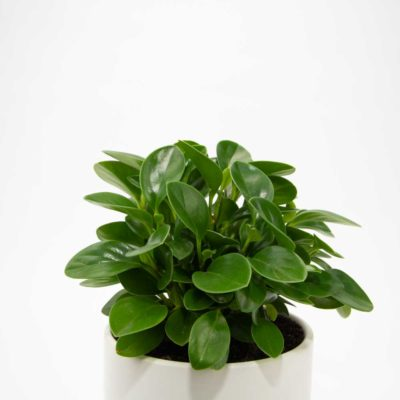 Peperomia Baby Rubber