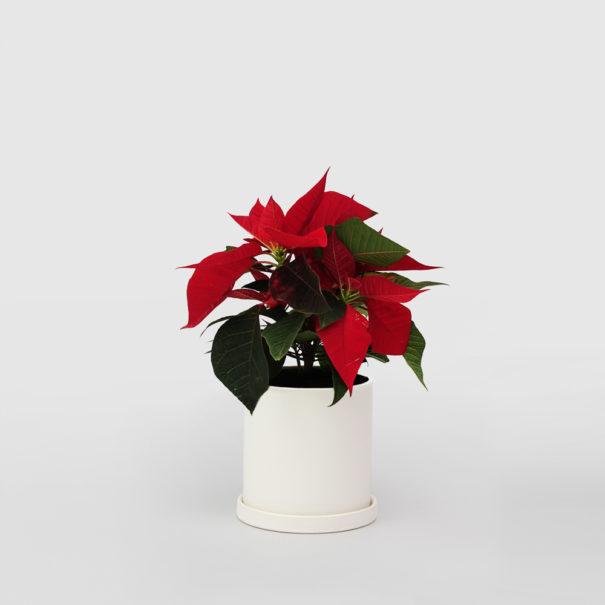 Poinsettia in Small Ceramic Pot
