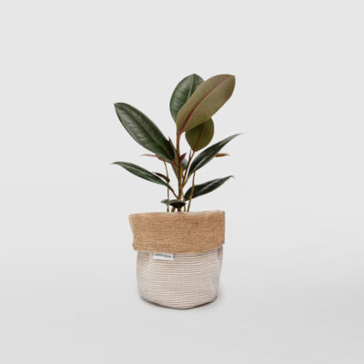 Rubber Plant Ficus Elastica Planter Bag Basketweave