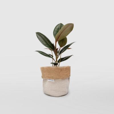 Rubber Plant Ficus Elastica Planter Bag Basketweave