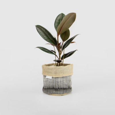 Ficus Elastica Burgundy Planter Bag Black