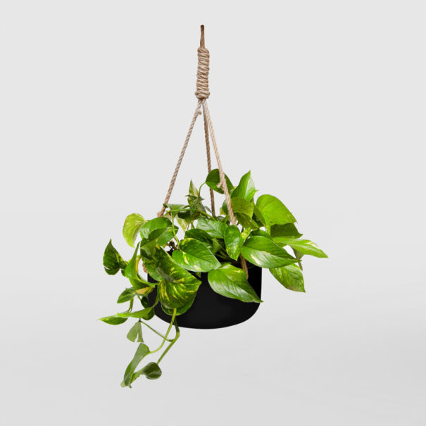 Devils Ivy Black Ceramic Hanging Basket Large
