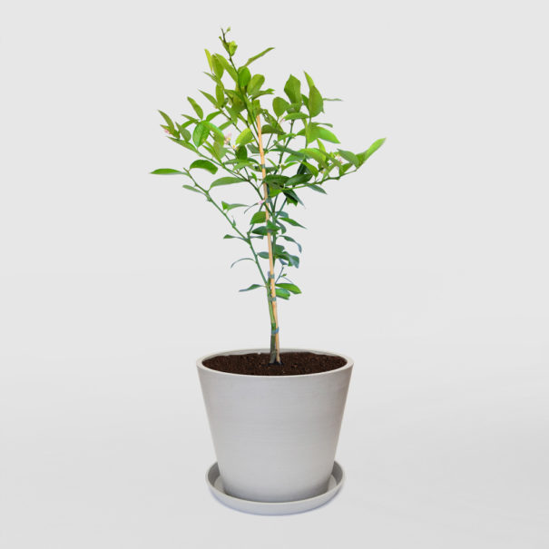Lemon Tree Ecopot Whitestone 300mm