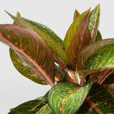 Aglaonema Chinese Evergreen
