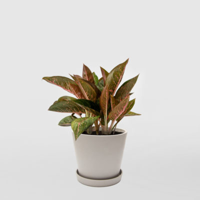 Aglaonema Ecopot Whitestone 200mm
