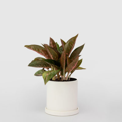 Aglaonema White Ceramic Pot Set 210mm