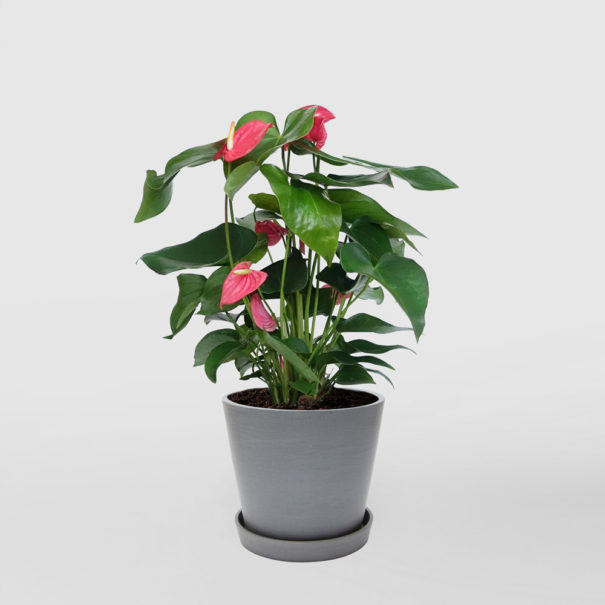 Anthurium Ecopot Blue Grey 200mm