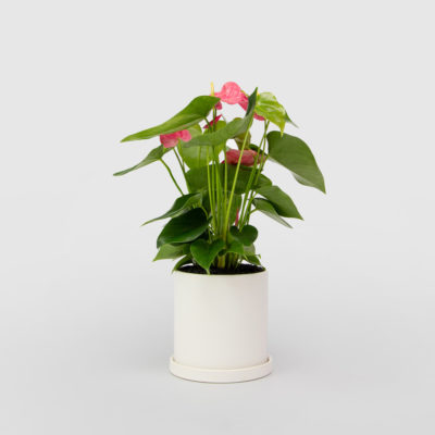 Anthurium White Ceramic Pot Set 150mm