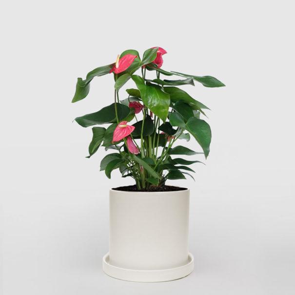 Anthurium White Ceramic Pot Set 210mm