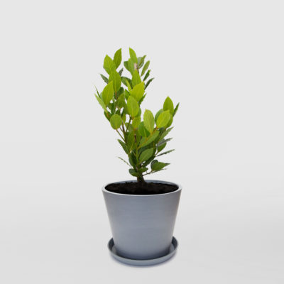 Bay Tree Ecopot Blue Grey 300mm