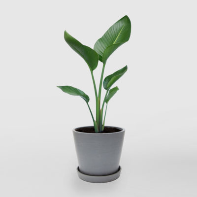 Bird of Paradise Ecopot Blue Grey 200mm