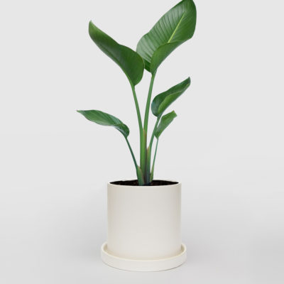 Bird of Paradise Strelitzia Nicolai White Ceramic Pot Set 210mm