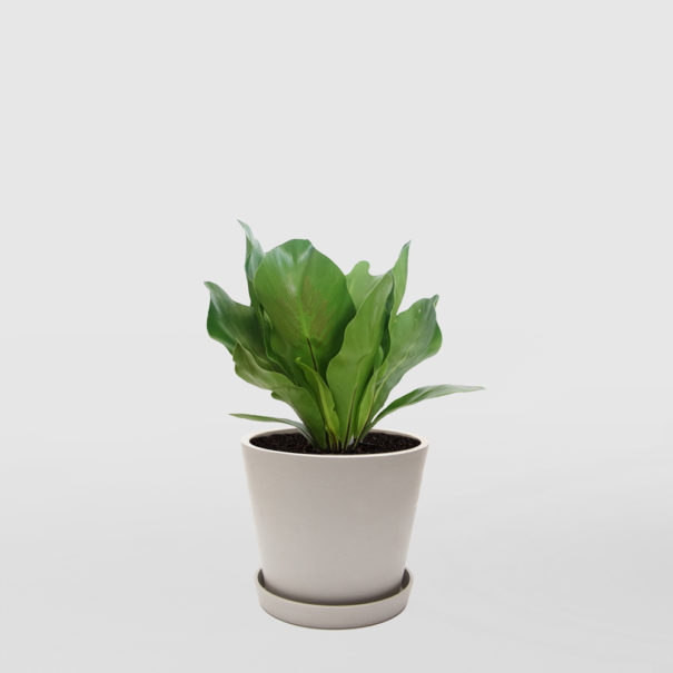Birds Nest Fern Norfolk Gem EcoPot Medium Whitestone