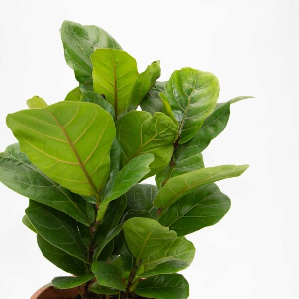 Fiddle Leaf Fig 2