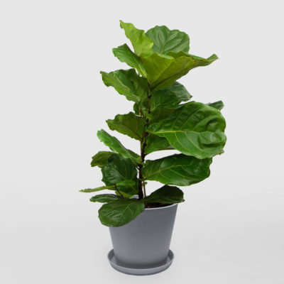 Fiddle Leaf Fig Ecopot Blue Grey 300mm