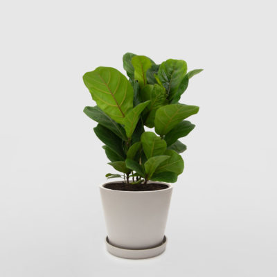 Fiddle Leaf Fig Ecopot Whitestone 200mm