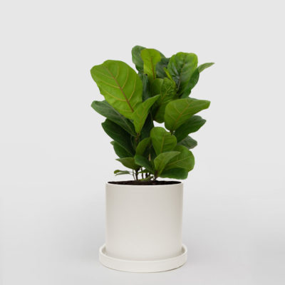 Fiddle Leaf Fig White Ceramic Pot Set 210mm