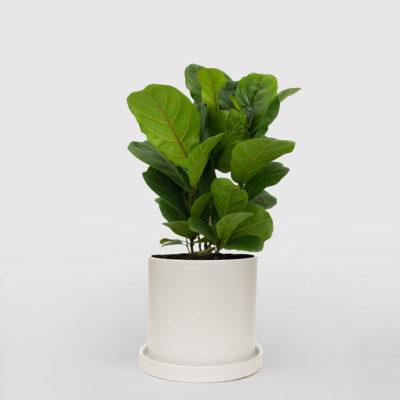 Fiddle Leaf Fig White Ceramic Pot Set 210mm