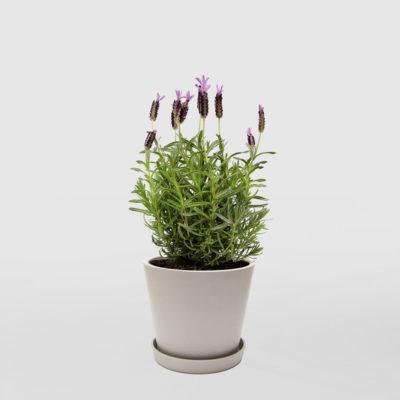 Lavender Ecopot Medium Whitestone 200mm