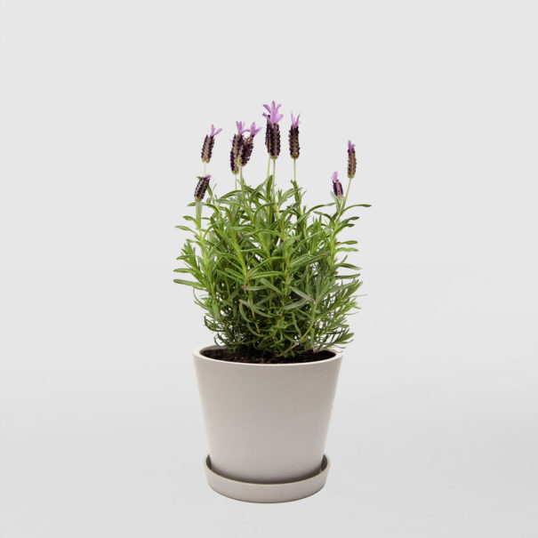 Lavender Ecopot Medium Whitestone 200mm