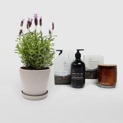 Lavender Gift Plant Gift Set