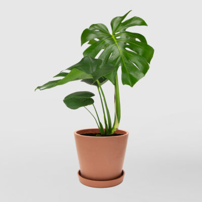 Monstera Deliciosa Ecopot Terracotta 200mm