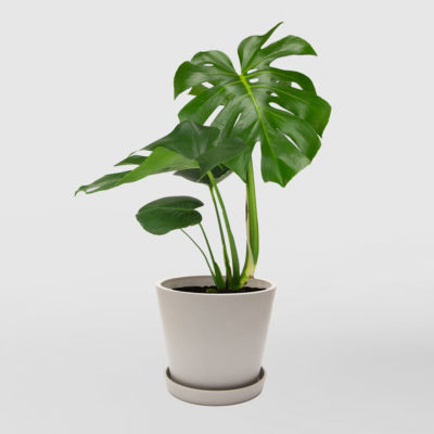 Monstera Deliciosa Ecopot Whitestone 200mm