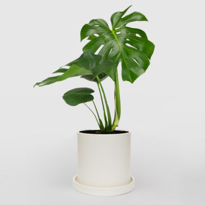 Monstera Deliciosa White Ceramic Pot Set 210mm