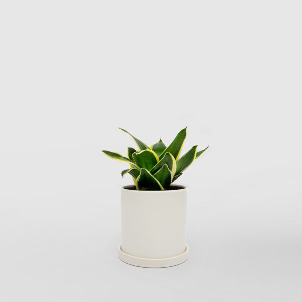 Mother in Laws Tongue Jade White Ceramic Pot Set 150mm