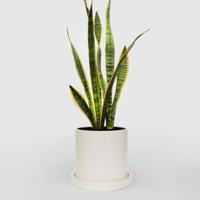 Mother in Laws Tongue White Ceramic Pot Set 210mm