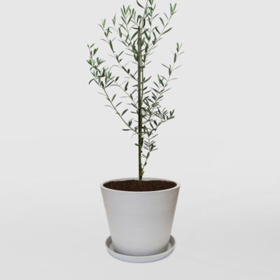 Olive Tree Ecopot Whitestone 300mm