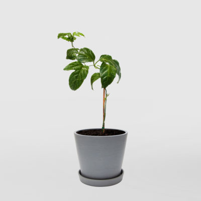 Passionfruit Ecopot Blue Grey 200mm